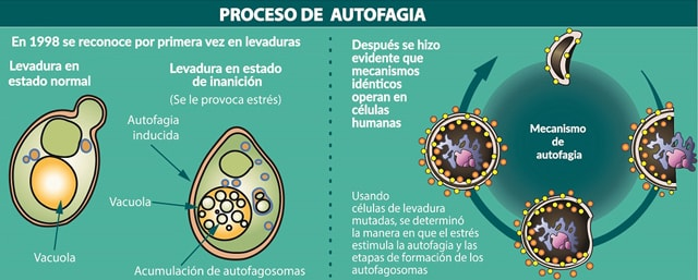 Autofagia – fase 5 experimento 40 días Ayuno de Alto Rendimiento